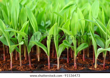 Young green corn, maize, sweet corn seedling in pod for experiment. - stock photo