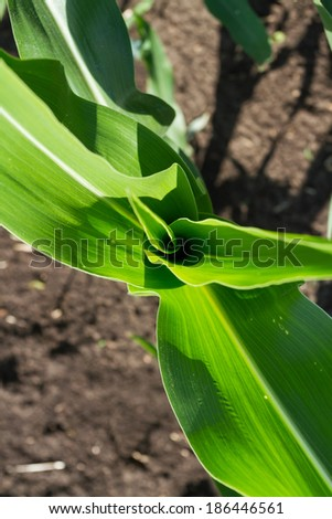 Young green corn plant, close-up  - stock photo