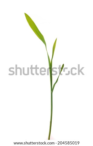 Young green corn plant sprout isolated on white background - stock photo