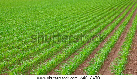 young green corn seedling on the field