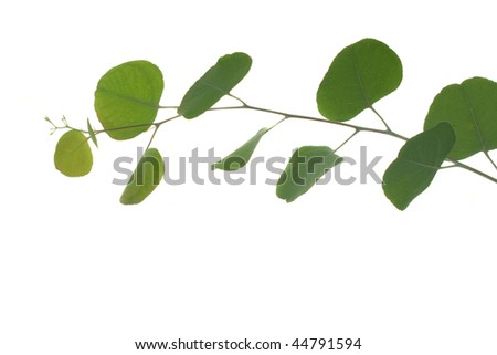 Young green eucalyptus leaves on a branch