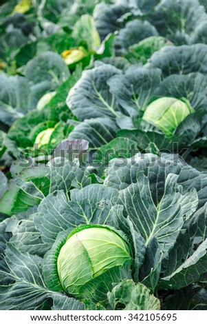 Young green head of cabbage in closeup - stock photo