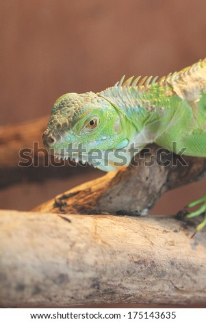 Young Green Iguana checking out his environment.  Iguana's are popular lizards to keep as pets. - stock photo