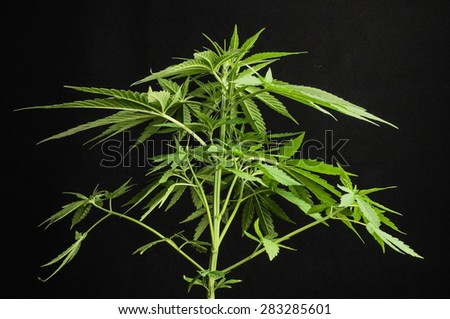 Young Green Leaf Cannabis Indica Plant Marijuana - stock photo