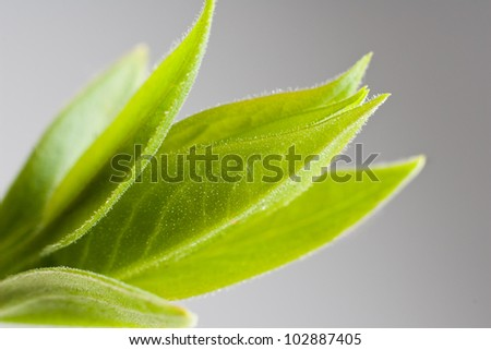 young green leaves isolated on gray