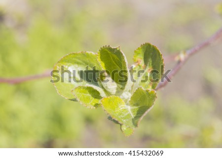 Young green leaves on a blooming Apple tree branch in the garden - stock photo