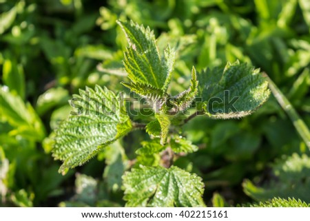 Young, green nettle in forest - stock photo