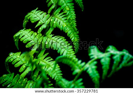 Young green ostrich fern or shuttlecock fern leaves (Matteuccia struthiopteris) on black background - stock photo