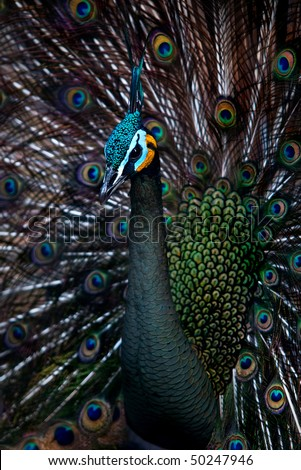Young green peacock showing his spreaded tail (Pavo muticus) - stock photo