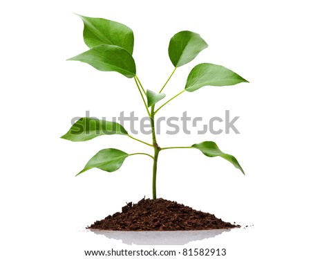 Young green plant growing from soil isolated on white background - stock photo