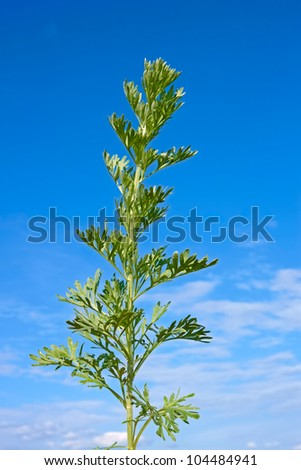 Young green sagebrush plant against the background of blue sky at early summer. Latin name: Artemisia absinthium - stock photo
