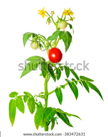 how to get tomato plants to fruit