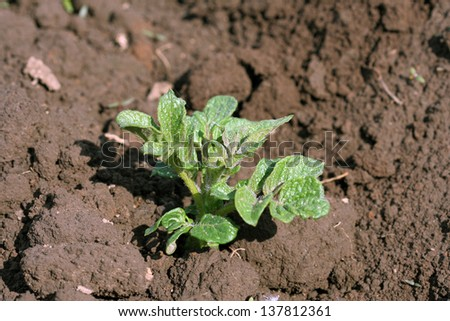 young green shoot growing potatoes in a field - stock photo
