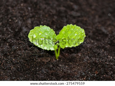 Young green sprout of radish in the ground with dew drops close up - stock photo