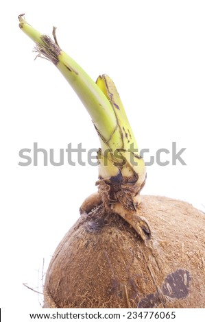 Young green sprout with roots on dehusked brown coconut on white background - stock photo