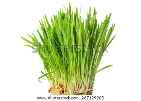Young green sprouts of oat for healthy lifestyle, fresh green grass, close up, isolated on white background - stock photo