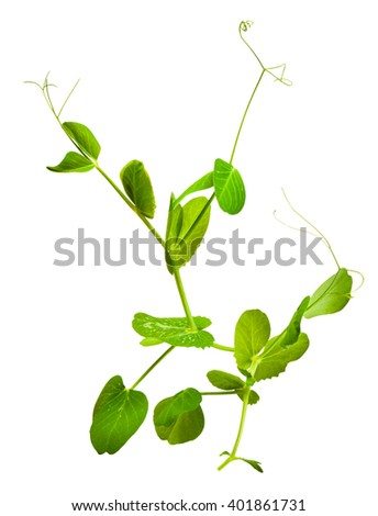 young green sprouts of peas isolated on white background in macro lense shot - stock photo