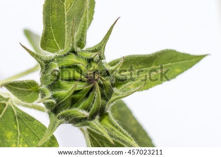 young green  sunflower before blooming - plant macro - stock photo