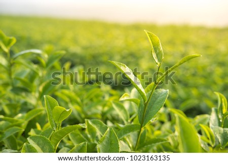Young green tea leaf in morning,Tea plantation