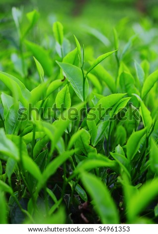 Young green tea leaves - stock photo