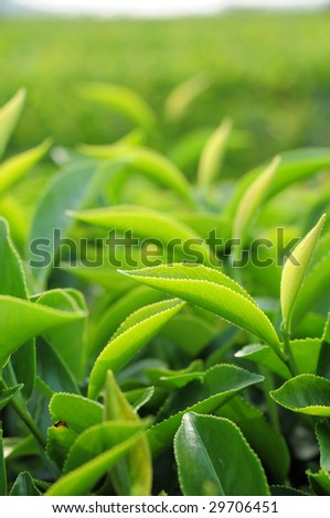 Young green tea leaves in tea plantation - stock photo