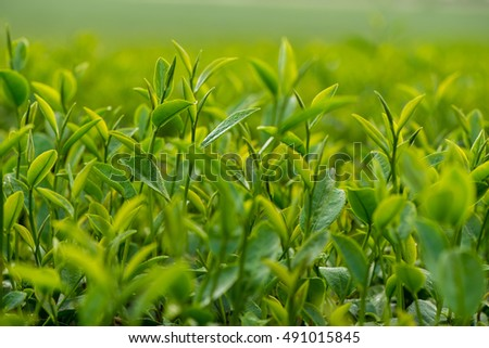 Young green tea leaves in the plantation ready to be picked up.