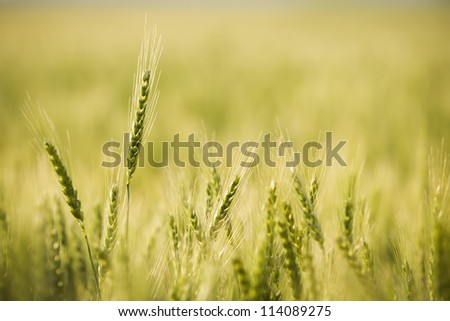 Young green wheat field farm - stock photo