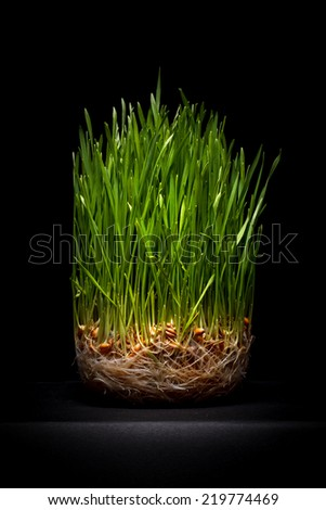 Young green wheat on a black background  - stock photo