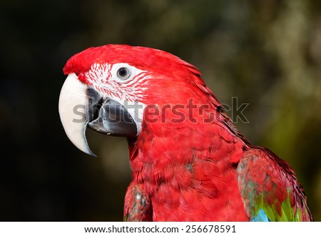 Young Green Winged Macaw close up