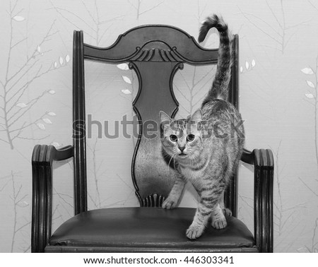 Young grey cat close up on a old chair in blur background, black and white photo, funny cat in domestic background, serious cat looking straight to camera, kitten at home  - stock photo