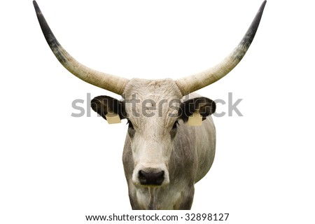 young grey cattle portrait with enormous horns. Isolated on white, earrings are suitable for text. :)