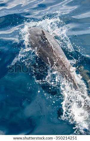 Young grey dolphin jumping from the ocean - stock photo