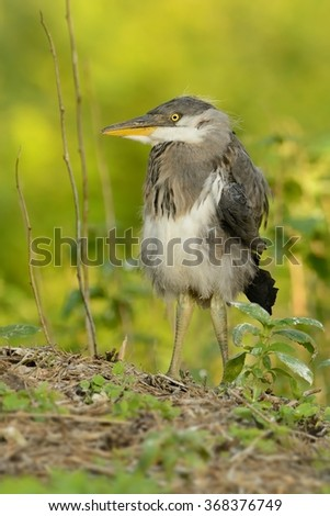 Young Grey Heron (Ardea cinerea) which fell out from nest. - stock photo