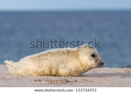 young grey puppy seal (halichoerus grypus) - stock photo