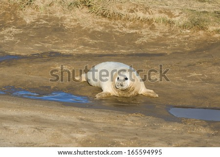 Young grey seal pup (Halichoerus grypus) on the beach in Donna Nook, UK  - stock photo