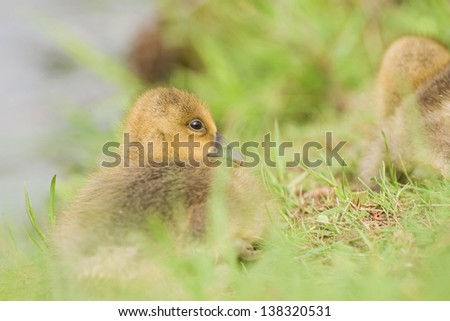 young greylag goose