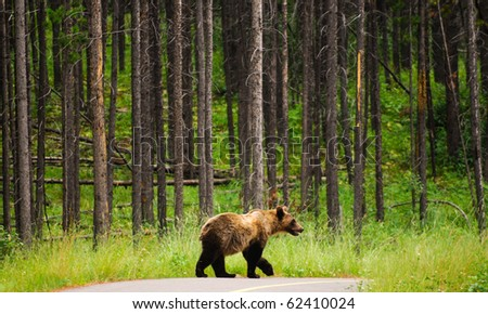 Young Grizzly Bear in a forest, Peter Lougheed Provincial Park, Kananaskis Country Alberta Canada - stock photo