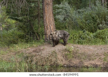 Young grizzly looking around