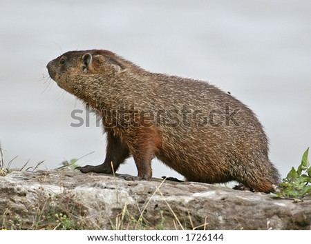 Young groundhog looking around on a rock - stock photo