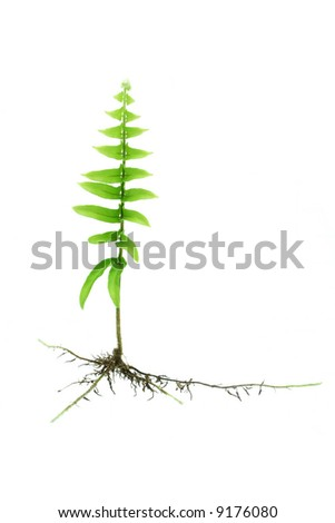 Young growing fern plant with roots isolated on white background - stock photo