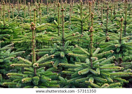 Young growing fir trees - stock photo