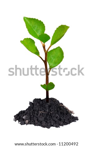 Young growing little tree with chunk of earth isolated on white background.