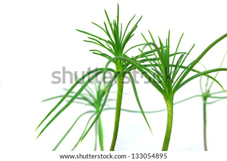 young growth of pine on a white background - stock photo