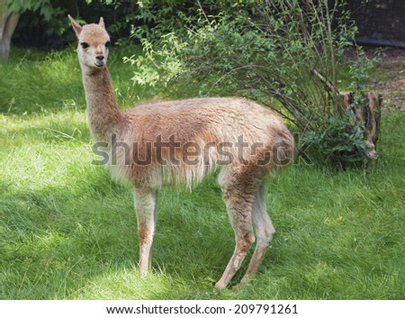 Young guanaco in profile in a zoo - stock photo