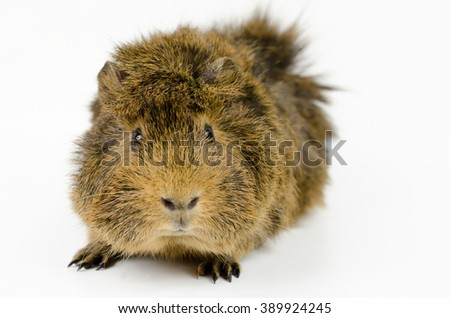young guinea pig, very active...(abyssinian, agouti colored) - stock photo