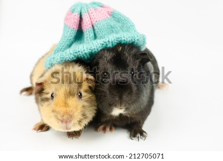 young guinea pigs share beanie - stock photo