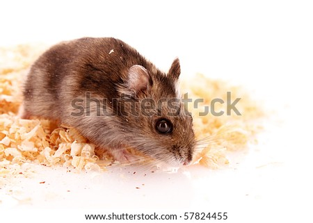 Young hamster and sawdust isolated on white
