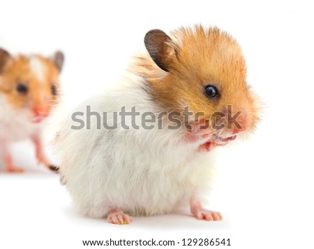 Young hamster washes isolated on white - stock photo