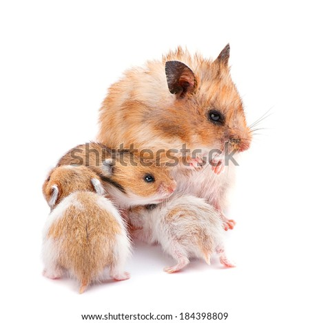 Young hamster with mom isolated on white - stock photo