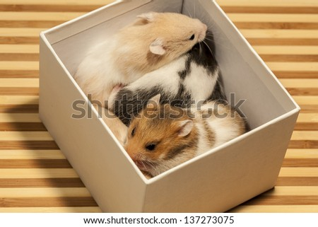 Young hamsters in the box.  - stock photo